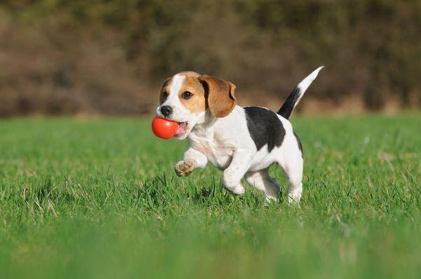 Beagles machen große Familienhunde