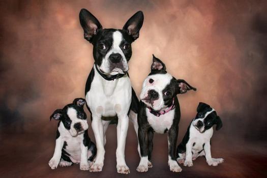 Boston Terrier als Familienhunde